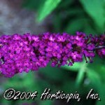 Butterfly Bush Buddleia