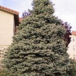 Colorado Blue Spruce, Picea