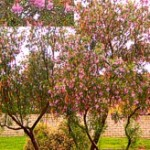Desert Willow, Chilopsis
