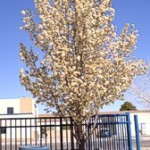 Flowering Pear Pyrus, Callery Aristocrat