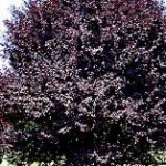 Prunus - Plum, Purpleleaf